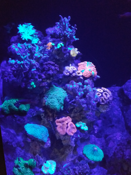 Fluroscent corals, Sea Aquarium sINGAPORE